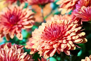 variegated chrysanthemum flower