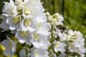 Bumblebee collecting pollen II