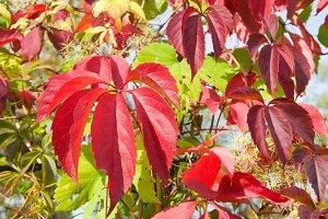 Red autumn foliage