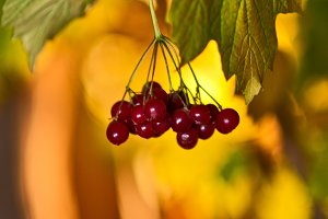 Guelder-rose Red