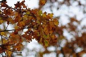 Oak Leaves and Bokeh