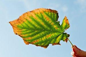 Ragged Autumn Leaf