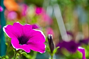 Background - Surfinia Flower