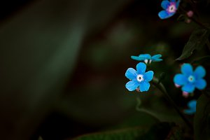 Many small blue wild flowers on a background of green leaves
