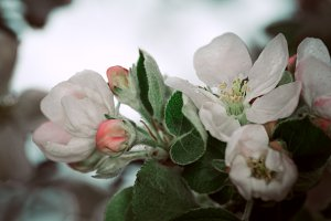blooming apple tree in the background of  nature