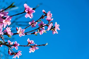 Blossoming Peach Branch