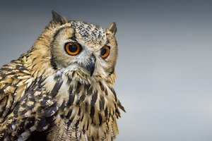 The Long Eared Owl