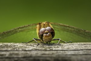 A Resting Dragonfly