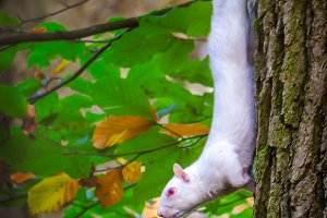 A Albino Squirrel