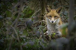 A Fox in Woodland