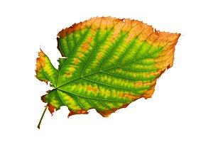 Isolated Ragged Leaf