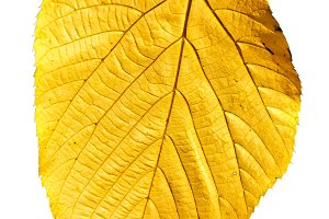 Isolated Yellow Leaf