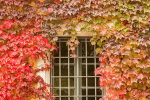 Red and green ivy around window