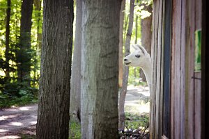 Alpaca in the Woods