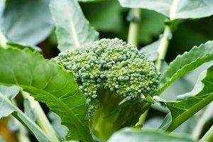 Fresh Broccolli