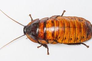 Madagascar cockroach