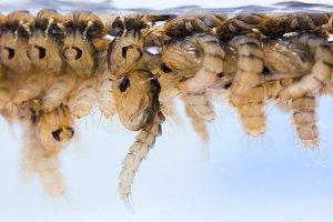 Mosquito pupae
