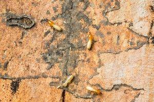 Termites in Thailand