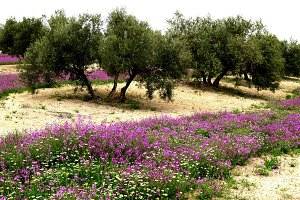 olive grove and wild flowers