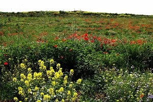 field of poppies and wild flowers