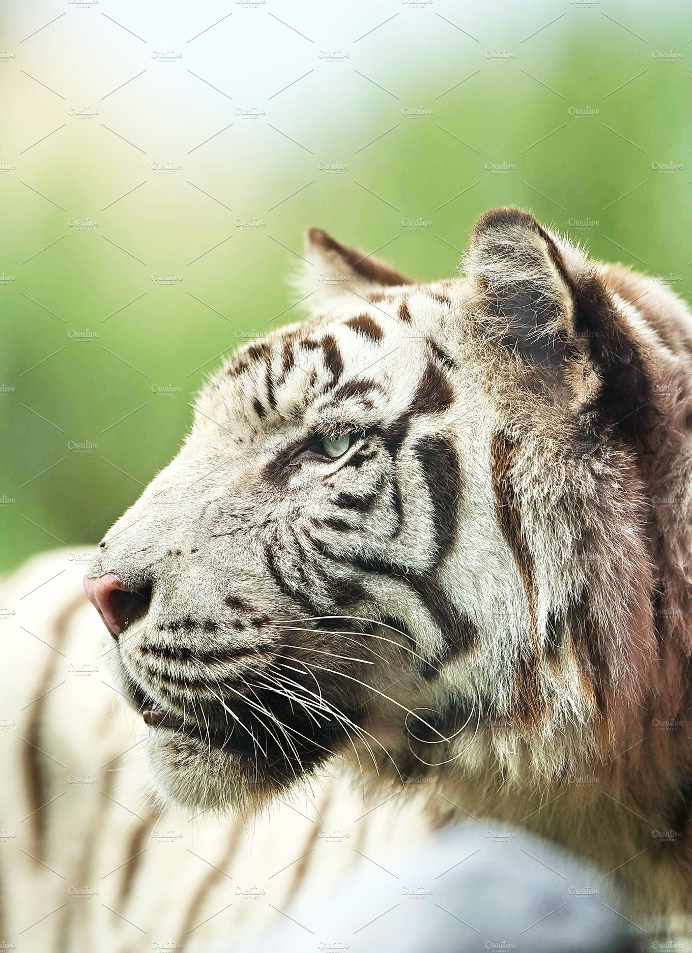 White Tiger Face In The Side View Animal Photos