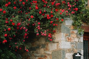 rose bushes on the house