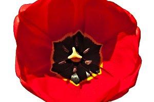 Tulip Head Isolated
