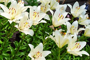 Lily Flower Outdoor