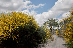 gorse flower and lonely way