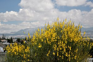splendid gorse flower