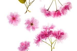 Sakura flower details