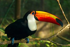 Toucan Ramphastos toco is sitting on the branch