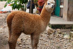 Young lama alpaca