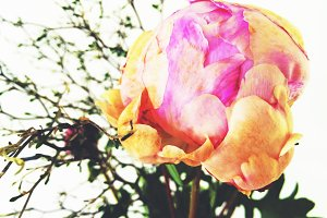 Bright Pink Orange Peony Flower