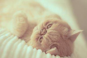 Playful exotic cat