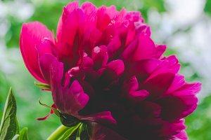 Wonderful sunshine pink peony