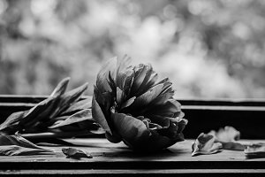 Black and white image of a peony