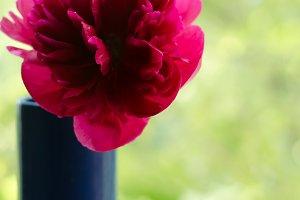 Red peonies in garden