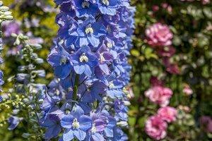 Blue Larkspur (Delphinium)