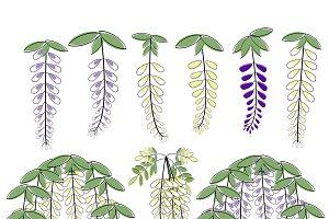 Wisteria flowers illustrations