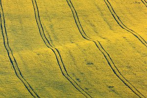 yellow rapeseed fields at sunset