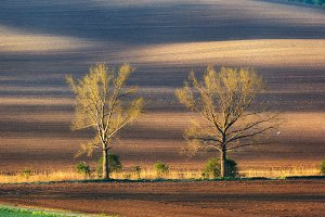 Lonely trees in field at sunset