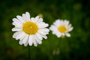 Macro of a Daisy flower