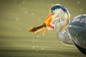 A Grey Heron Fishing