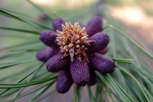 Purple Cones...