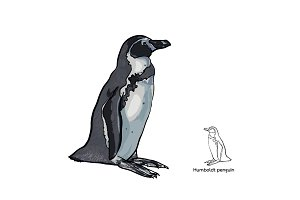 Humboldt penguin on white background
