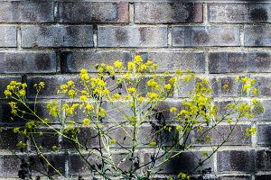 Canola in front of wall