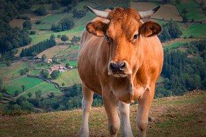 Asturian cow menacingly II