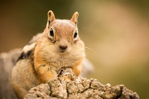 Cute chipmunk eating nuts
