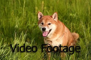 Dog Shiba Inu on a meadow